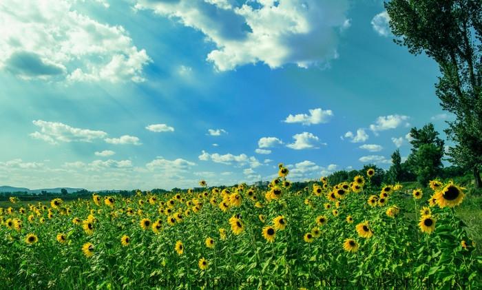 Подсолнухи летом в поле